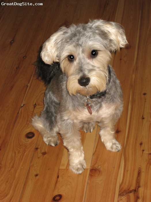 Silkzer, 2, Silver, The Silkzer is a terrific cross – very smart, loyal and playful breed, also incredibly cute too☺