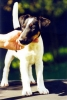Smooth Fox Terrier, ., .