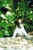 Smooth Fox Terrier, -, -