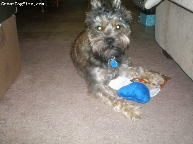 Sniffon, 1 1/2, Dark Brown and Beige, Rocco opening his first Christmas present in Dec. 2009