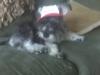 Snorkie, 6 months, gray/silver/black