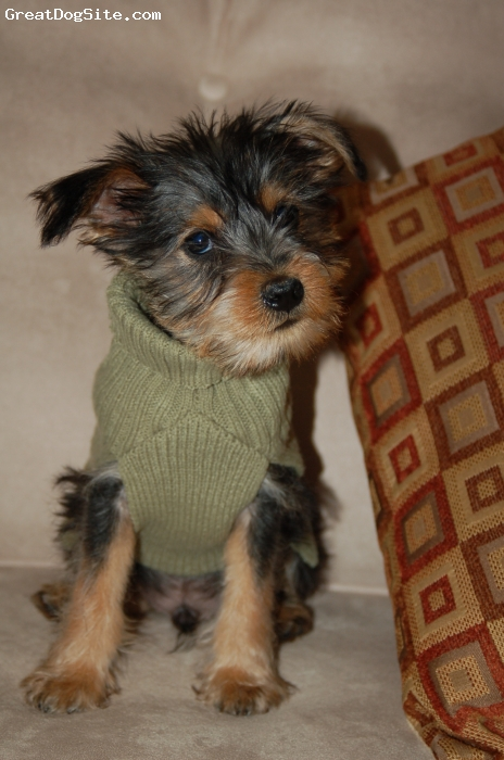 Snorkie, 6 moth, salt, pepper, and tan, He is a miniature schnauzer and Yorkie.