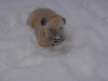 Soft Coated Wheaten Terrier, 7 months, cream