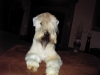 Soft Coated Wheaten Terrier, 18 months, wheaten