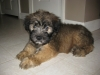 Soft Coated Wheaten Terrier, 9 weeks, brown and black