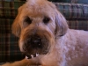Soft Coated Wheaten Terrier, 5 years old, Tan