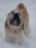 Soft Coated Wheaten Terrier, almost 3, Wheat