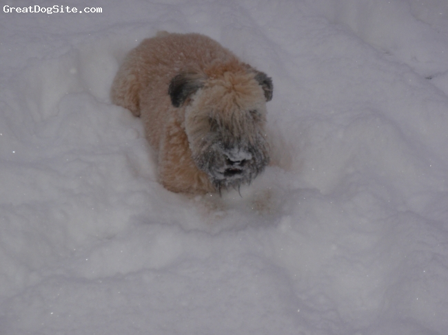 Soft Coated Wheaten Terrier, 7 months, cream, Snow Day