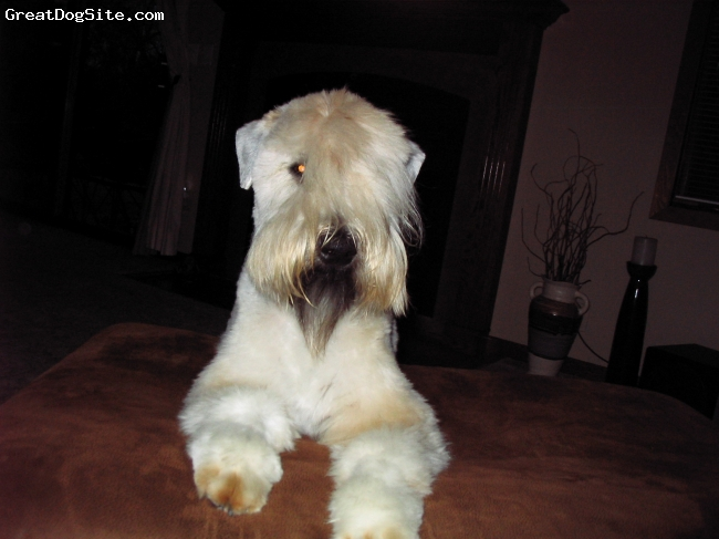 Soft Coated Wheaten Terrier, 18 months, wheaten, This 40 lb. wheatie is just a bigggg baby.