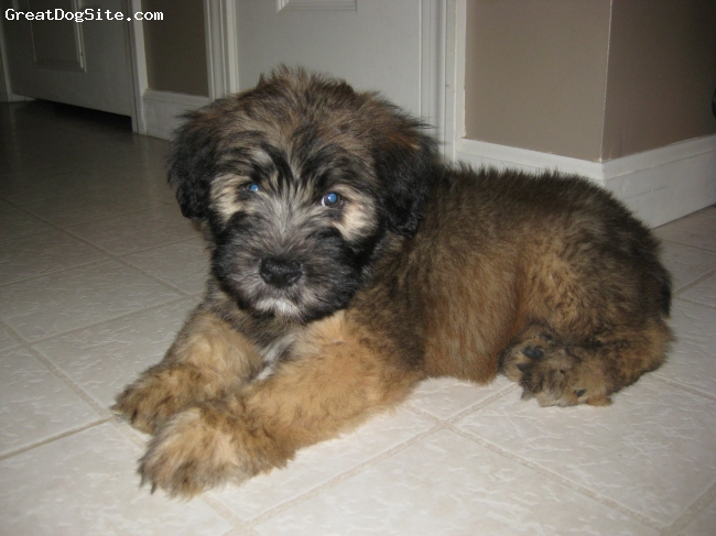 Soft Coated Wheaten Terrier, 9 weeks, brown and black, Our new baby.