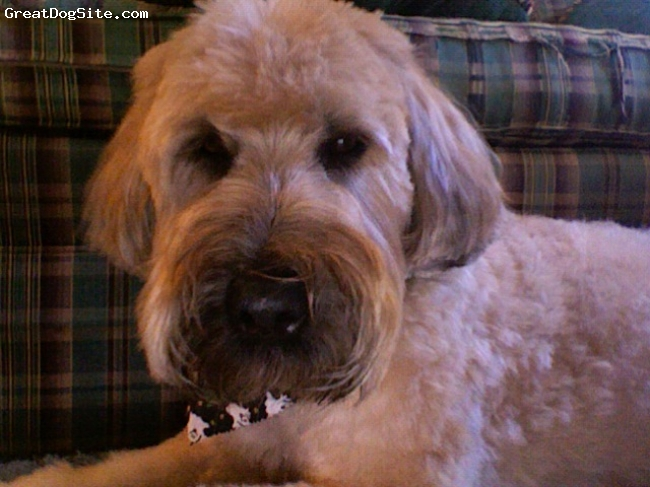 Soft Coated Wheaten Terrier, 5 years old, Tan, Squeakers is a boy, and has a very cute face. He's a very nice dog. He is not aggressive or nippy. :)