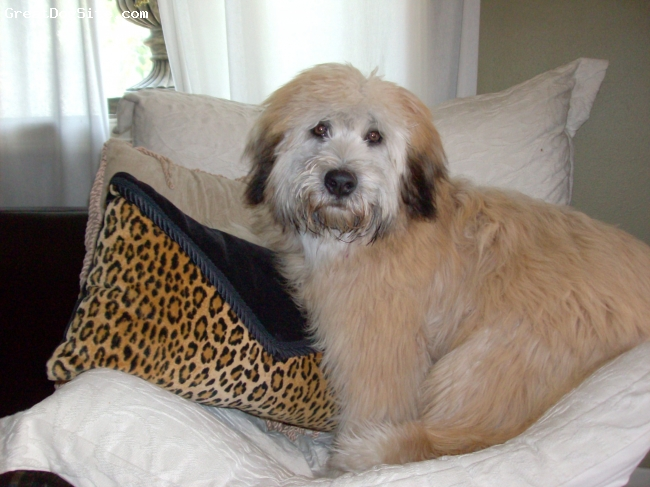 Soft Coated Wheaten Terrier, 3yrs, Blonde, I love her, without a doubt the best dog Ive ever had.  Ive had just about every popular breed.