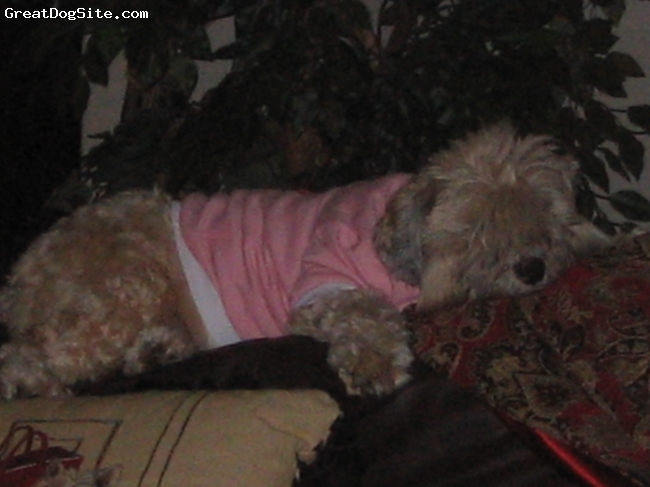 Soft Coated Wheatzer, 6, Wheat, Cally relaxing on the coach wearing a pink shirt that she is not too fond of.