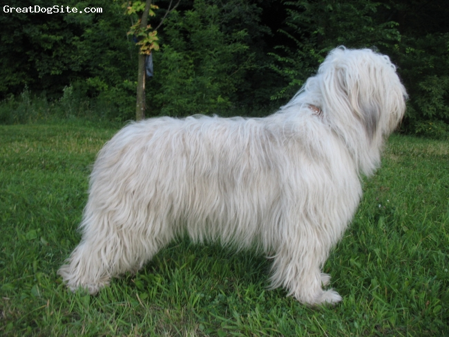 South Russian Ovtcharka, 4 years, white, in the park.