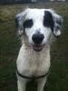 Spanador, 1 year, white