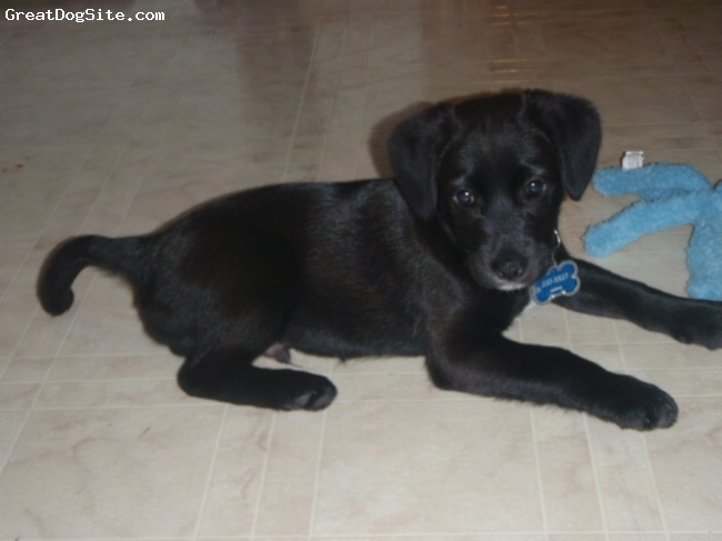 Spanador, 3 months, Black/ some white patches, Great dog to have high energy and very lovable a great family dog!