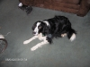 Spangold Retriever, 8 years old, Black and White