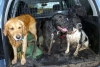 Spangold Retriever, 3, 2, 11 months x2, Golden, black, black and white.