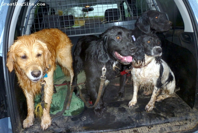 Spangold Retriever, 3, 2, 11 months x2, Golden, black, black and white., Happy family's, Dad Golden Retriever, Mum Lola, English Springer, Myrtle and Louis.