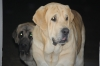Spanish Mastiff, 3 and 2 y/o, Sand male, black mask female