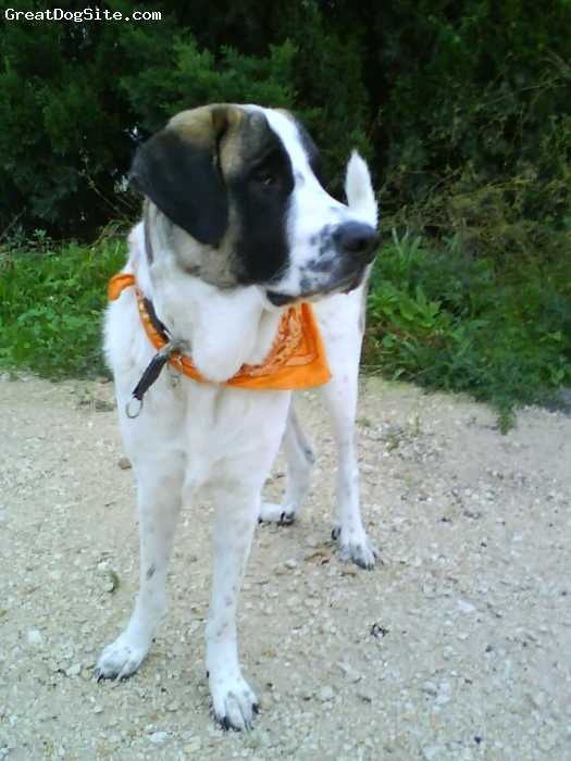 Spanish Mastiff, 1,5 years, white & brown spots, Beautiful dog with it`s own will, haha
