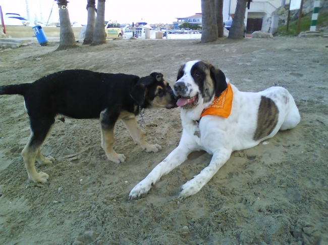 Spanish Mastiff, 1,5 years, white with brown spots, On the beach playing with another dog