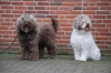 Spanish Water Dog, 3 and 6 jear, braun /with/braun