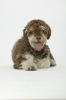 Spanish Water Dog, 4, Brown & Cream