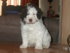 Spanish Water Dog, 6 weeks, Bicolor, white and brown