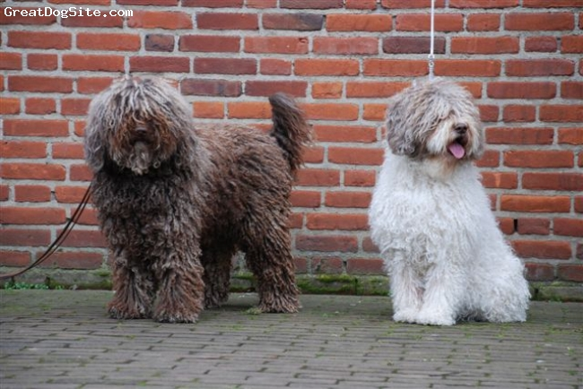 Spanish Water Dog, 3 and 6 jear, braun /with/braun, Gonnagitcha`s Alvaro de Luna and his mother Amaia De La Galea both Multi Champion