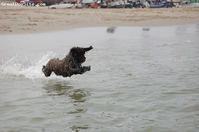 Spanish Water Dog, 1 jear, braun, I like only swimming and my tennisbal !!