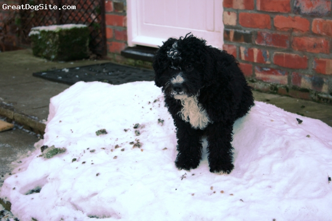 Spanish Water Dog, 3 months, Black @ White, Fun in the snow