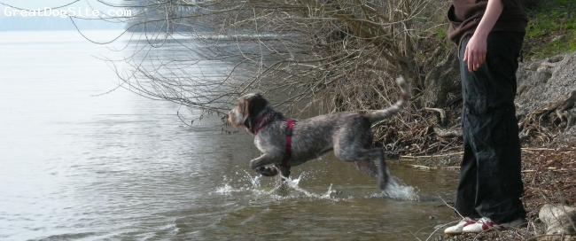 Spinone Italiano, 6 months, brown roan, the best dog i've ever got!!!