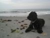 Springerdoodle, 4 months, Black w/white