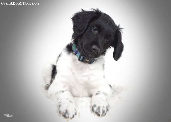 Stabyhoun, 4months, Black and White, My boy is very loving, obedient, friendly both with people and animals. He is quick to learn, eager to please with a bold curious nature. I'd rather watch him than a tv show because he is so much more entertaining.