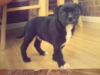 Staffordshire Bull Terrier, 10 Months, Black/White with Brindle