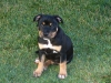 Staffordshire Bull Terrier, 12 weeks, Black and Tan