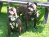 Staffordshire Bull Terrier, 2 and 9, brindle