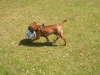 Staffordshire Bull Terrier, 13 months, red