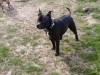 Staffordshire Bull Terrier, 7, black