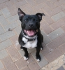 Staffordshire Bull Terrier, 1 Year and 2 Mnth, Black & White