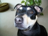 Staffordshire Bull Terrier, 5, black and tan