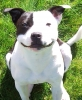 Staffordshire Bull Terrier, 10 months, black & white