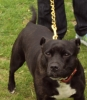 Staffordshire Bull Terrier, 7 years, black/brindle