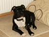 Staffordshire Bull Terrier, 5 Months, Brindle