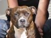 Staffordshire Bull Terrier, 2 1/2, Brindle