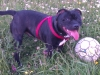 Staffordshire Bull Terrier, 10 months, brindle with white chest and paws