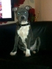 Staffordshire Bull Terrier, 9 months, Blue