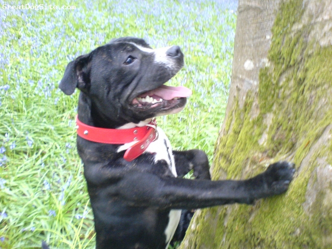 Staffordshire Bull Terrier, 10months, black, white & brindal, softy, clumsy, excitable and always by your side, loves walks!