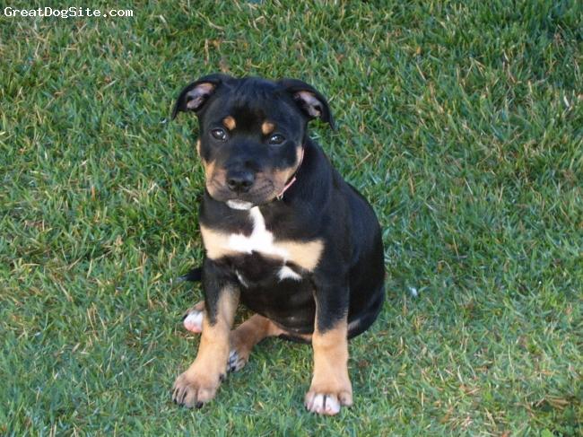 Bull Terrier Black And Tan   www.pixshark.com - Images ...